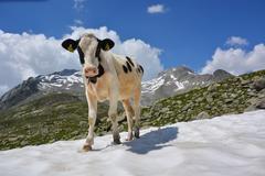 Kuh im Schnee © Naturpark Zillertaler Alpen